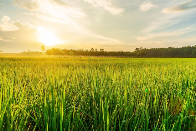 Campo arroz, com, amanhecer, ou, pôr do sol, em, moning, luz