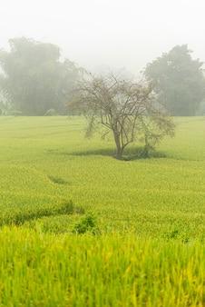 Campo arroz, com, caminho, de manhã
