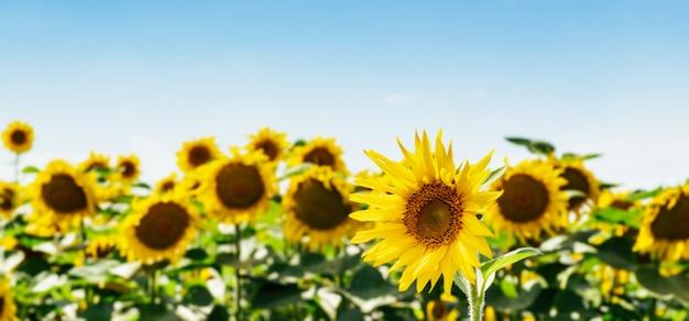 Campo bonito dos girassóis contra o céu e as nuvens. muitas flores amarelas sobre um fundo azul com espaço para texto.
