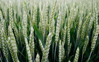 Campo campo de trigo