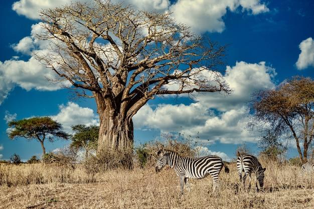 Campo coberto de vegetação cercado por zebras sob a luz do sol e um céu azul