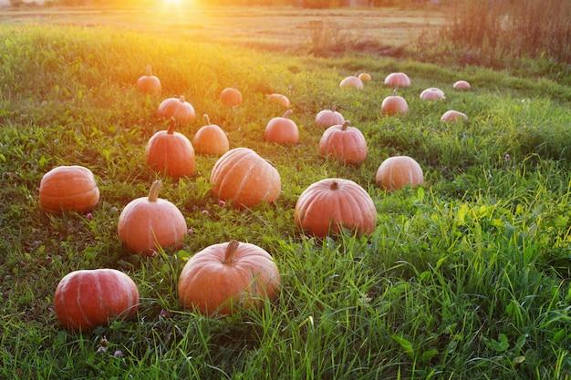 Campo com abóboras ao pôr do sol