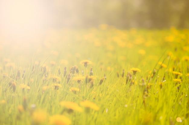 Campo, com, amarela, dandelions, um, panorâmico, fundo, de, natureza