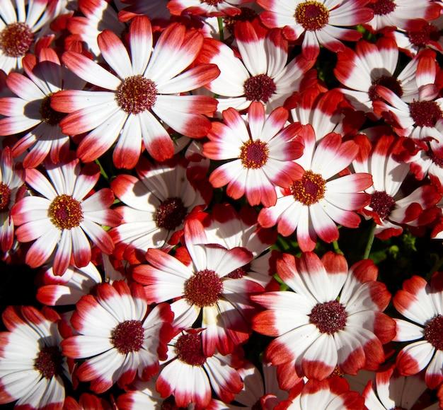 Campo com flor vermelha e branca
