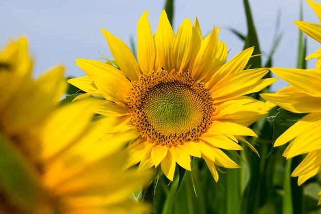 Campo com girassóis no verão, campo de girassóis durante a floração no tempo ensolarado