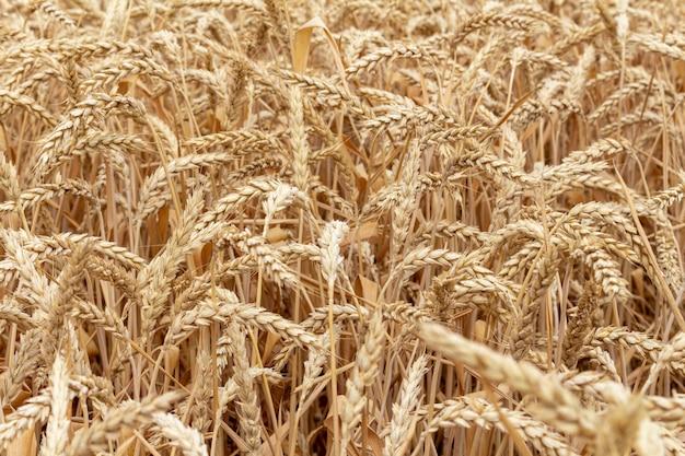 Campo com grãos, trigo close-up