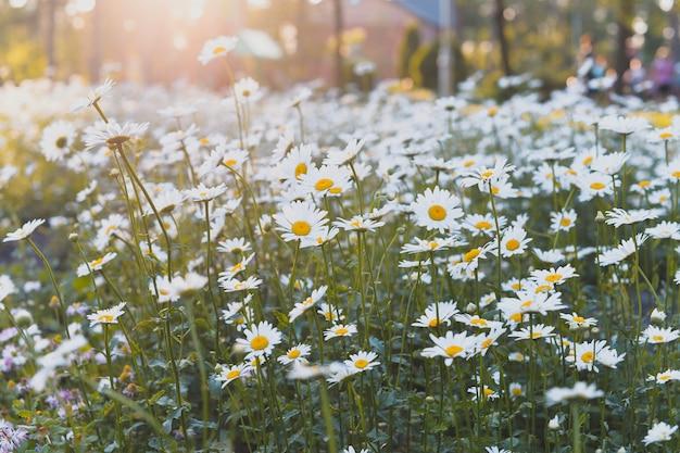 Campo com margaridas flores no verão e na primavera