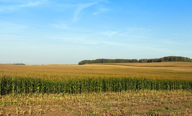 Campo com milho imaturo, parte do qual foi ceifado para alimentar os animais da fazenda