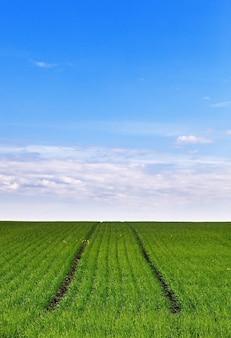 Campo com mudas frescas de cereais