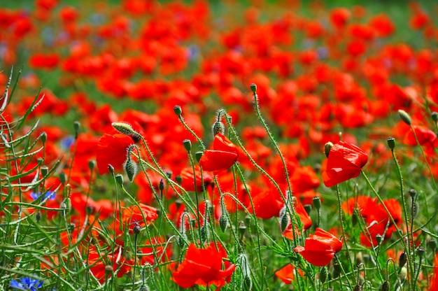 Campo com papoilas vermelhas brilhantes e hastes verdes