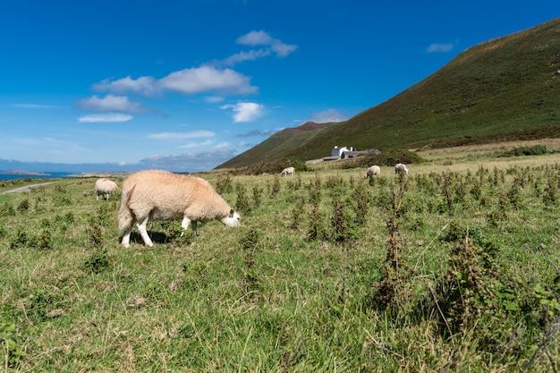 Campo com pastoreio de ovelhas