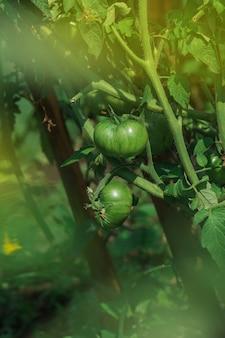 Campo com tomates verdes. tomates verdes prontos para a colheita. bio-jardim com plantas de tomate