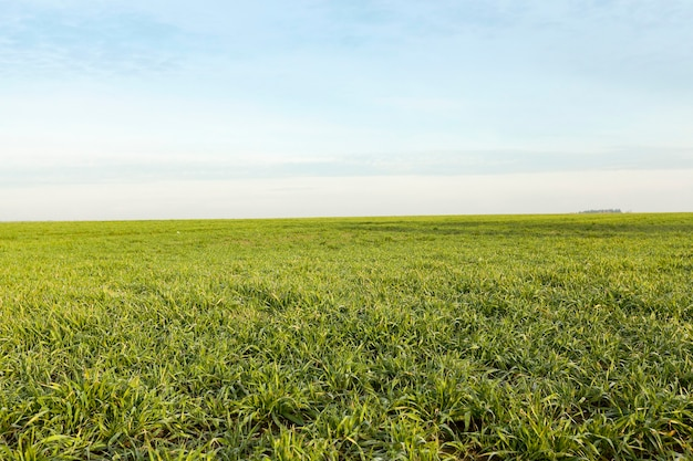 Campo com trigo jovem fotografado close de brotos de trigo verde durante o início de seu crescimento na temporada agrícola de primavera