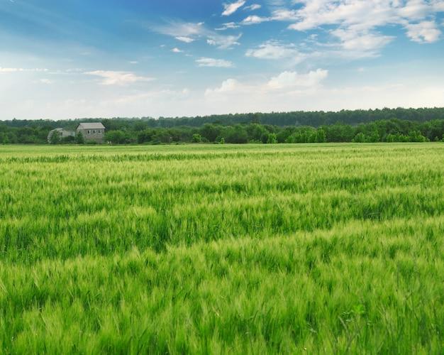 Campo com trigo verde e céu azul com floresta