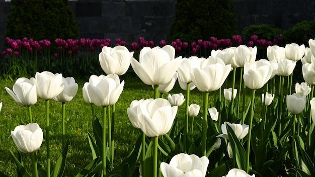 Campo com tulipas brancas florescendo