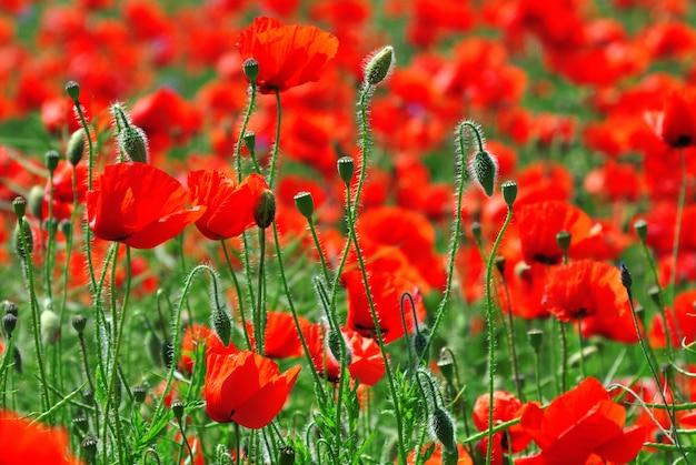 Campo, com, vermelho, florescer, papoulas