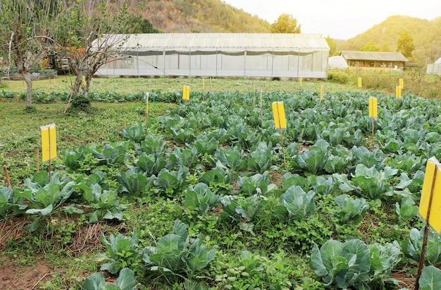 Campo cultivado de alface crescendo na fazenda de vegetais com fundo de efeito estufa