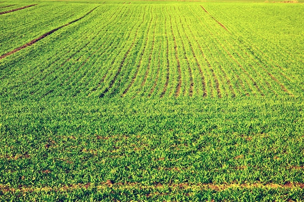 Campo da colheita verde