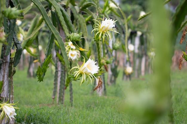 Campo da fruta do dragão ou paisagem do campo de pitahaya.