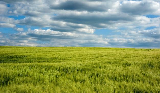 Campo de agricultura closeup de espigas de centeio com céu azul