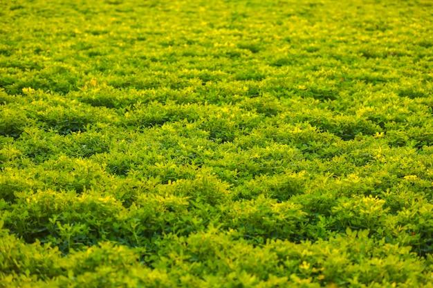 Campo de agricultura de castanhas verdes