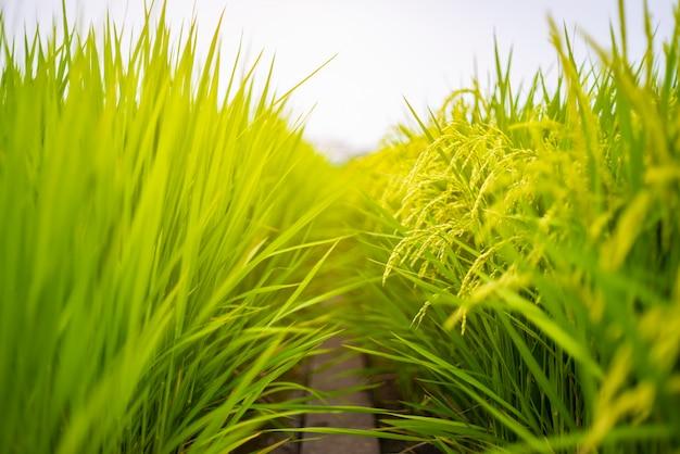 Campo de agricultura de planta de arroz