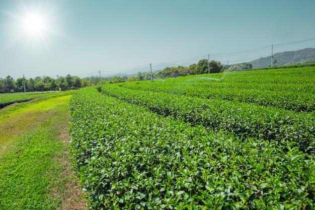 Campo de agricultura de planta de chá verde em chiangrai, norte da tailândia