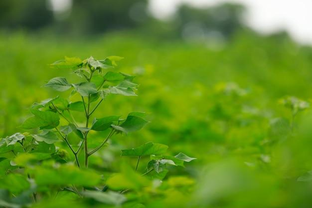 Campo de algodão verde na índia