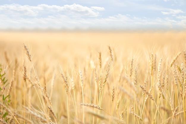 Campo de amadurecimento de trigo. conceito de colheita agrícola.