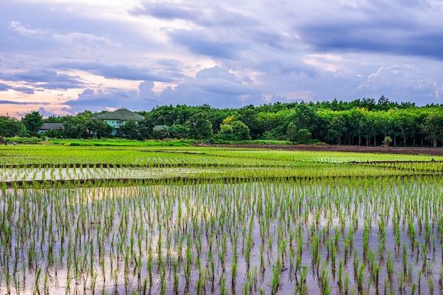 Campo de arroz, agricultura, arroz, com nascer do sol ou pôr do sol no crepúsculo