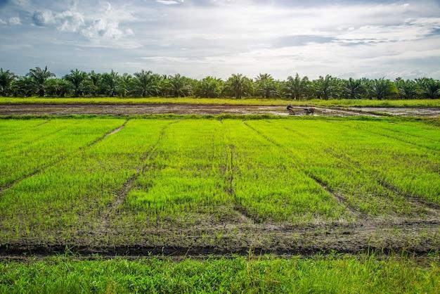 Campo de arroz, agricultura, arroz, com nascer ou pôr do sol e reflexos sobre o sol