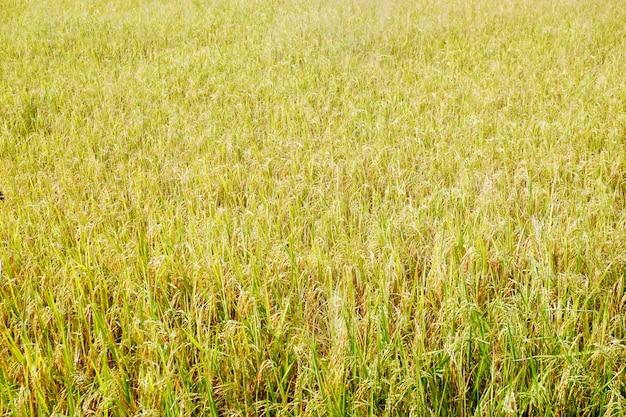 Campo de arroz amarelo dourado