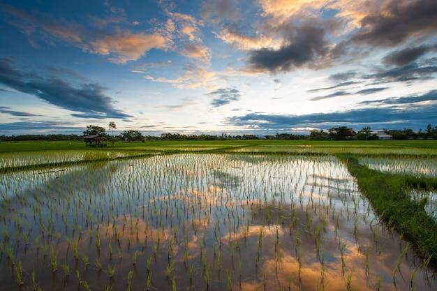 Campo de arroz ao pôr do sol, tailândia