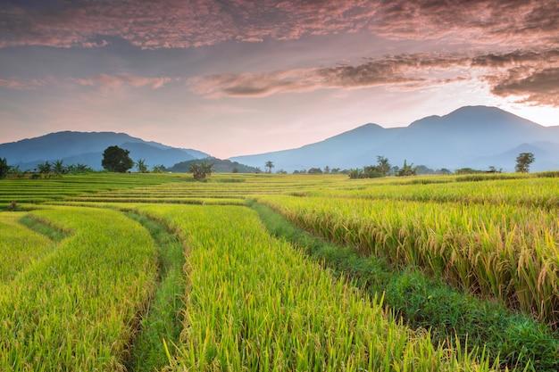 Campo de arroz ao pôr do sol