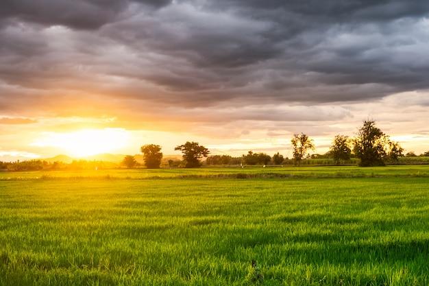 Campo de arroz bonito ao pôr do sol