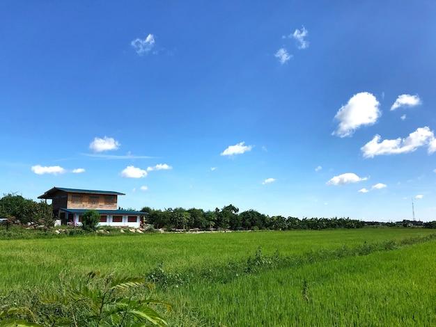 Campo de arroz com casa