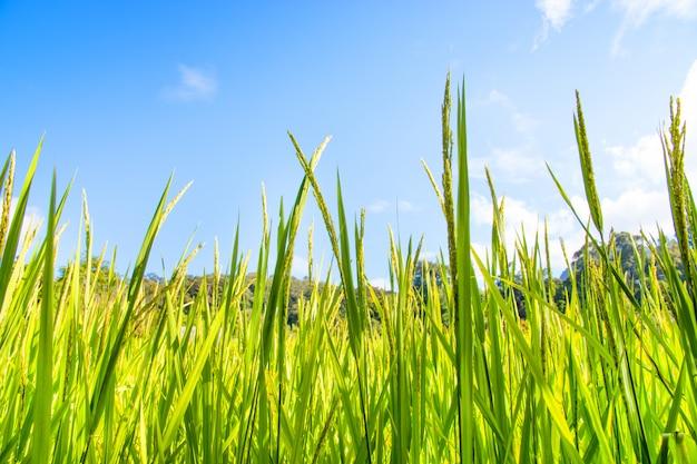 Campo de arroz com céu azul.