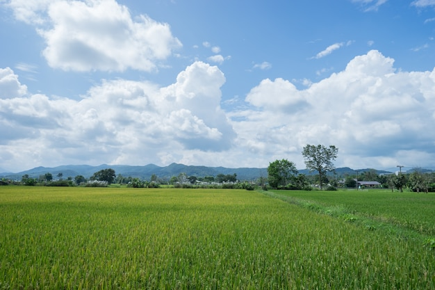 Campo de arroz com esqueleto azul no campo