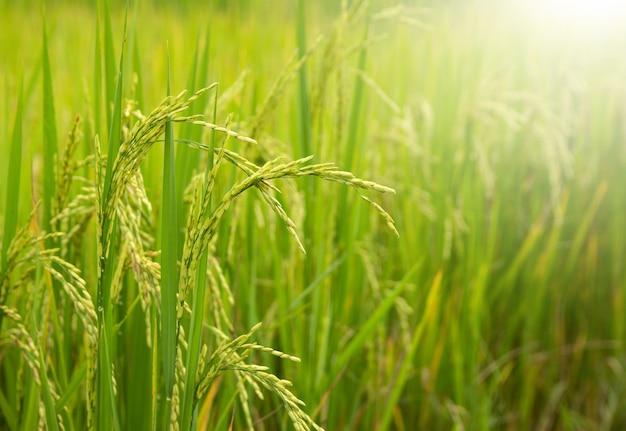 Campo de arroz com luz solar no rural