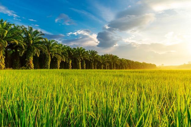 Campo de arroz com o nascer ou o pôr do sol na luz de moning