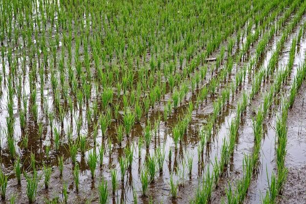 Campo de arroz com selva. tempo nublado.