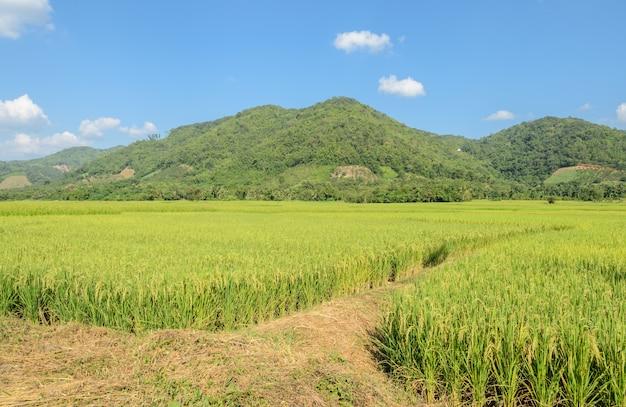 Campo de arroz com trilha em dia de sol
