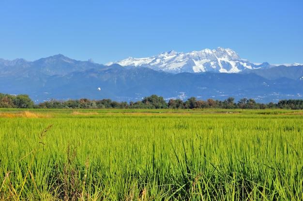 Campo de arroz crescendo com a montanha coberta com fundo de neve