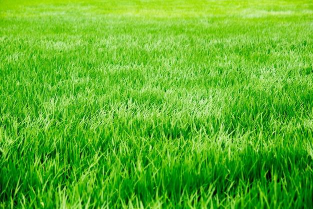 Campo de arroz de grama verde verão ventoso
