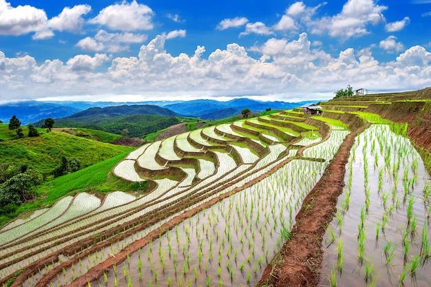 Campo de arroz do terraço de ban pa bong piang em chiangmai, tailândia.