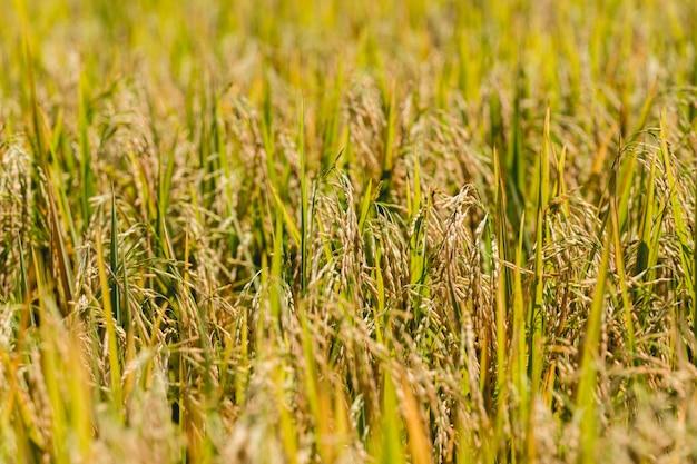 Campo de arroz dourado amarelo