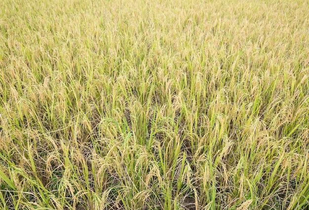 Campo de arroz dourado