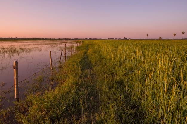 Campo de arroz durante o pôr do sol, surin, tailândia