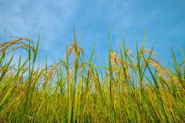 Campo de arroz e céu azul