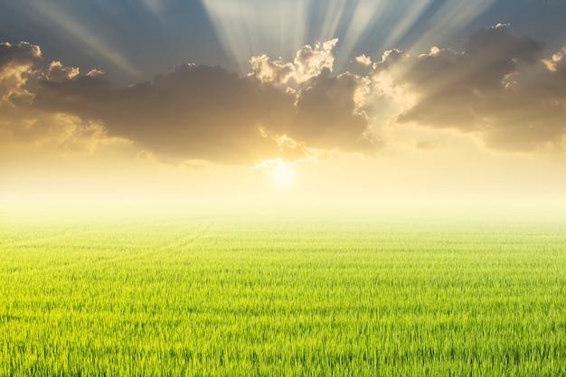 Campo de arroz e pôr do sol.